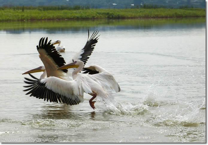lake_bird